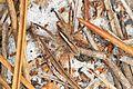 Wolf Spider - Rabidosa hentzi, Lake June-in-Winter Scrub State Park, Lake Placid, Florida.jpg