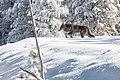 Wolf moving through fresh snow (38346213996).jpg