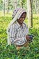 Woman harvesting tea, West Bengal.jpg