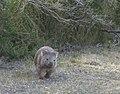 Wombat Wilsons Promontory.jpg