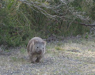 Wilsons Promontory National Park - Common wombat at Wilsons Promontory National Park