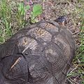 Wood Turtle carapace.jpg