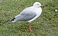 Woody Point Seagull-1and (3411504846).jpg
