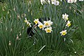 Wraxall 2012 MMB 17 Smudge and daffodils.jpg