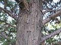 X Cupressocyparis leylandii1.jpg