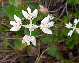 <i>Xanthosia</i> genus of plants