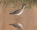 YELLOWLEGS, GREATER (9-21-10) west end, pat lake state park, scc, az -03 (5013167224).jpg