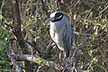 Yellow-crowned Night-Heron Estero Llano SP Mission TX 2018-03-14 07-50-42 (26943421858).jpg