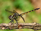 Yellow-tailed Ashy Skimmer Potamarcha congener juvenile male by kadavoor.jpg