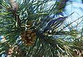 Yellow-throated Warbler (25769602464).jpg
