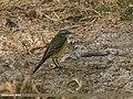 Yellow Wagtail (Motacilla flava) (31991439533).jpg