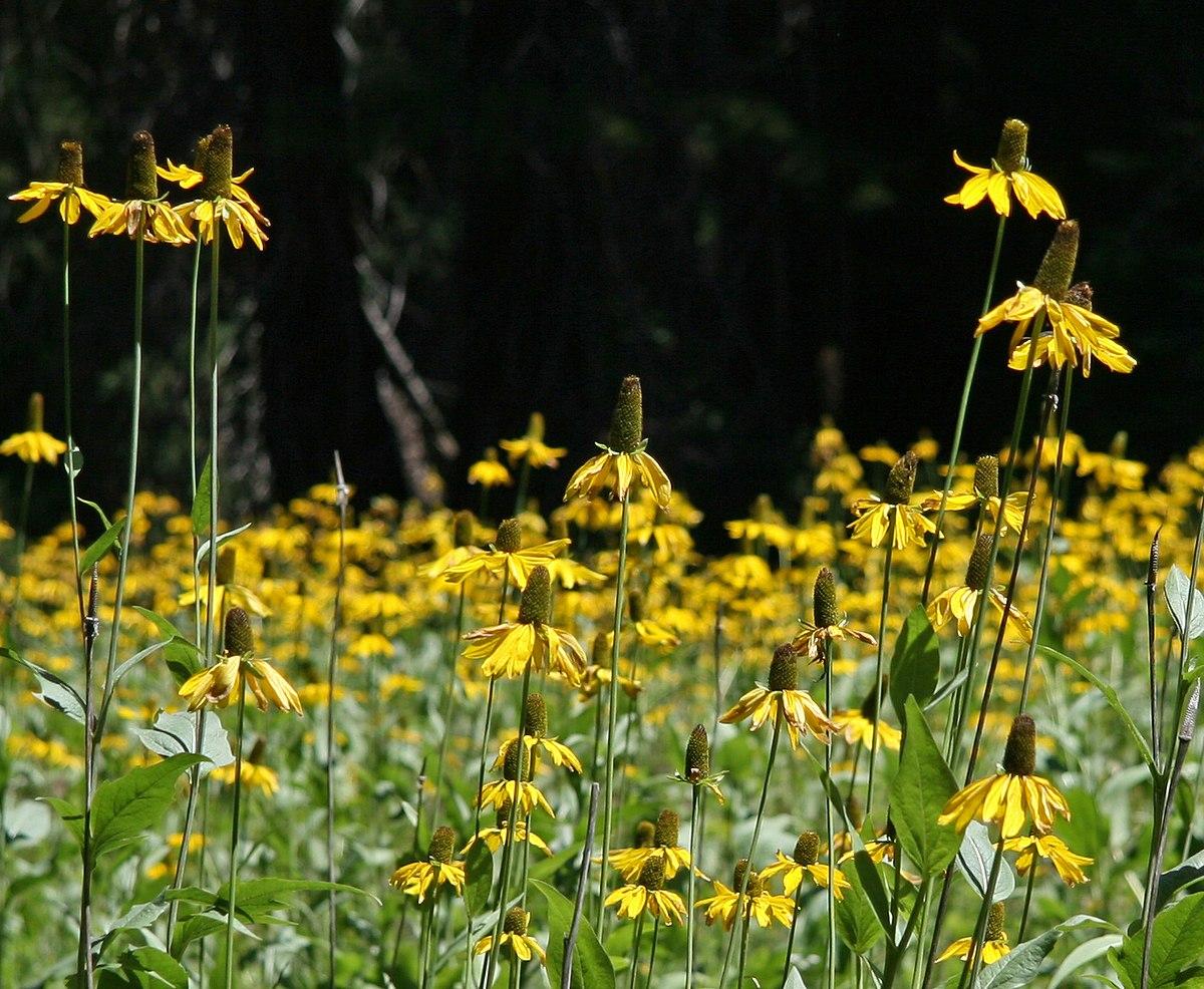 Rudbeckia Californica Wikipedia