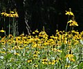 Yellow coneflower Rudbeckia californica 060731.jpg