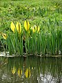 Yellow skunk cabbage (Lysichiton americanus) - geograph.org.uk - 777403.jpg