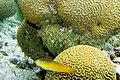 Yellowhead wrasse Halichoeres garnoti (4676202122).jpg