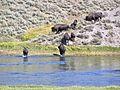 Yellowstone Bison river crossing 2011.JPG 12.jpg