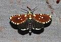 Yepcalphis dilectissima (Noctuidae- Noctuinae) (6133795950).jpg