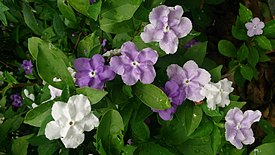Yesterday-Today-Tomorrow (Brunfelsia calycina) 5.jpg
