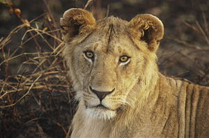 English: Young Lion. Masai Mara National Reser...