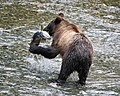 Young grizzly catches a salmon in Alaska (1750402727).jpg