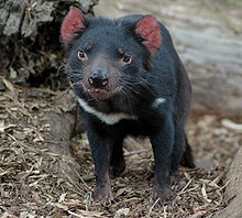 https://upload.wikimedia.org/wikipedia/commons/thumb/f/f0/Young_tasmanian_devil.jpg/220px-Young_tasmanian_devil.jpg