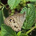 Ypthima baldus - Common Five-ring 11.JPG