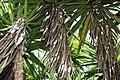 Yucca elephantipes 7zz.jpg