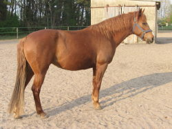 A chestnut Barb horse standing on a sandy lot