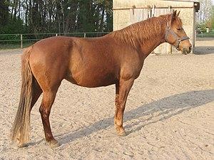 Barb horse - Image: Zafira Al Saida 0001