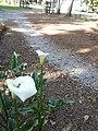 Zantedeschia aethiopica in Carolina Park, Quito, Ecuador-03.jpg