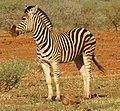 Zebra standing alone crop.jpg