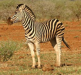 Alföldi zebra (Equus quagga)