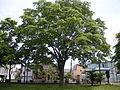 Zelkova serrata in Oasa HigashimachiPark Ebetsu, Hokkaido 2.jpg