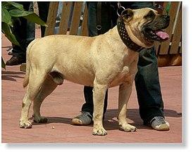 порода собак кобудо