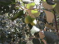 Zizipus mauritiana-1-jodhpur-India.JPG