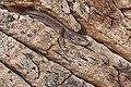 Zootoca vivipara 01 (MK).jpg