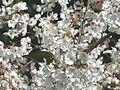 Zosterops japonicus-メジロ Japanese White-eye and Sakura DSCF5477.JPG