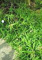 Zypergras (Cyperus diffusus).jpg