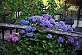 'Hydrangea macrophylla' hortensia at a beer garden at Nuthurst West Sussex England.jpg
