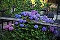 'Hydrangea macrophylla' hortensia at a beer garden at Nuthurst West Sussex England.jpg