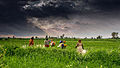 (1) Agriculture and rural farms of India.jpg