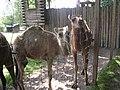 (120) Camelus dromedarius.jpg
