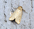(2345) Small Dotted Buff (Photedes minima) (9294787648).jpg