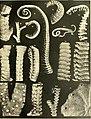 Über japanische und andere Euryalae (1911) (20340644926).jpg