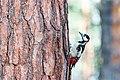 Большой пёстрый дятел - крупный представитель семейства дятловых.jpg
