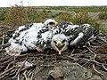 ВКО - СтО26 птенцы еще ближе 15-06-09.jpg