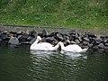Гомель. Парк. У Лебяжьего озера. Фото 19.jpg