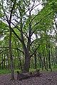 Дуб Тотлебена, Лиса гора 01.jpg