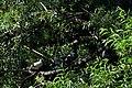 Сирецький гай Голубина зграя на вербі DSC 0490.jpg