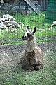 Тернопіль - Гідропарк «Топільче» - Зоокуток - лама - 18073077.jpg